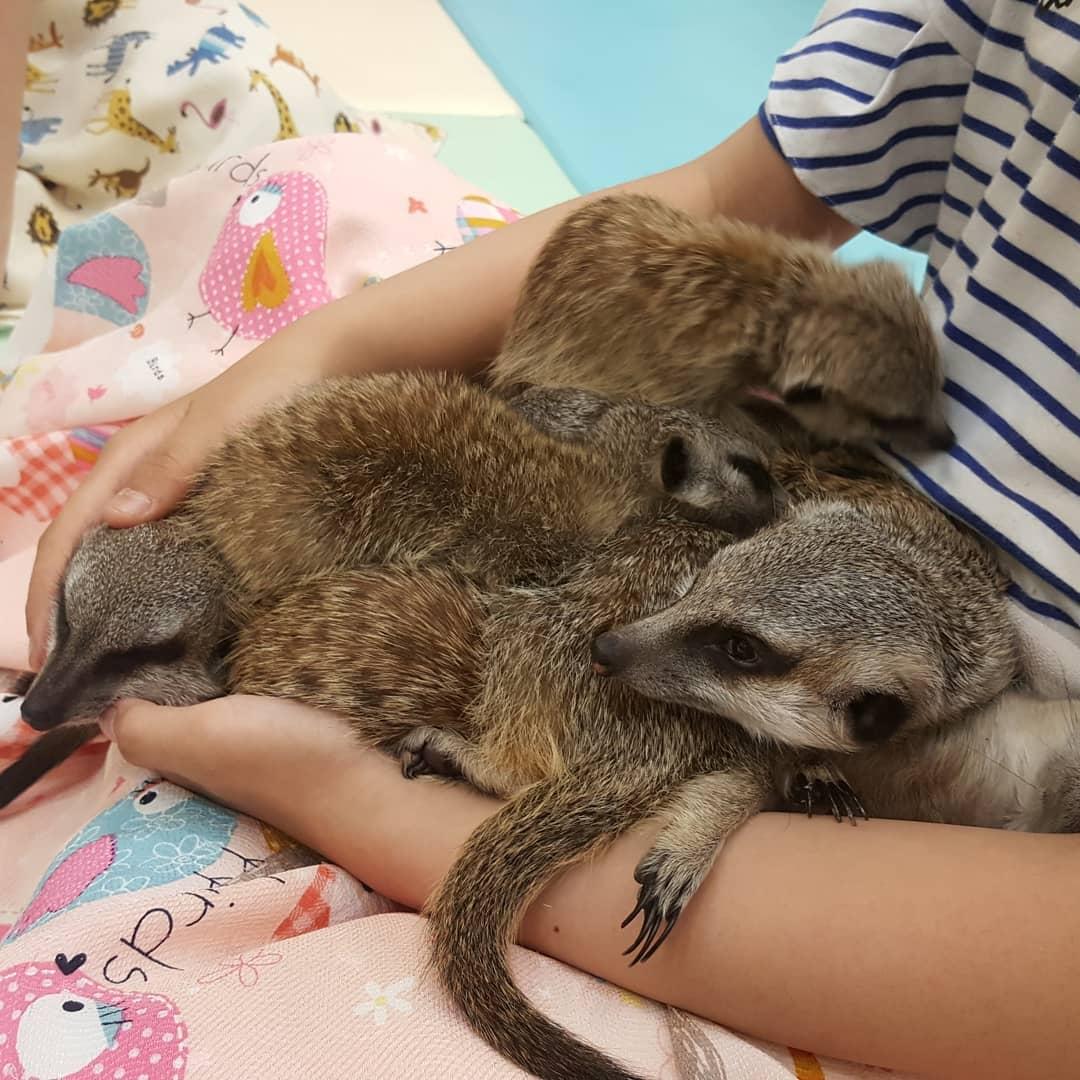 Кафе с сурикатами, кенгуру и лисами Meerkat Friends